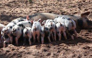 ¿En qué se diferencia un lechón de un cochinillo? ¿Y de un cerdo?